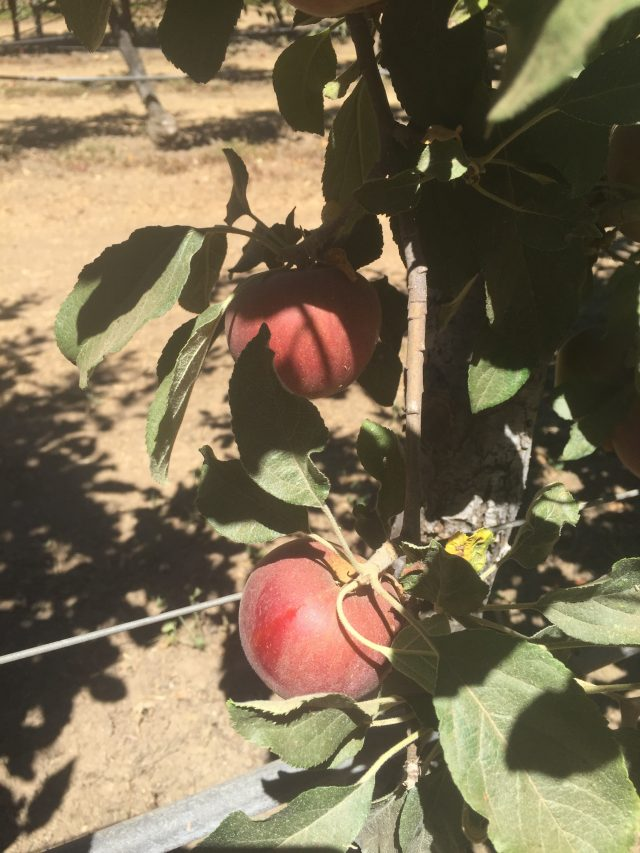 apple picking in julian, california